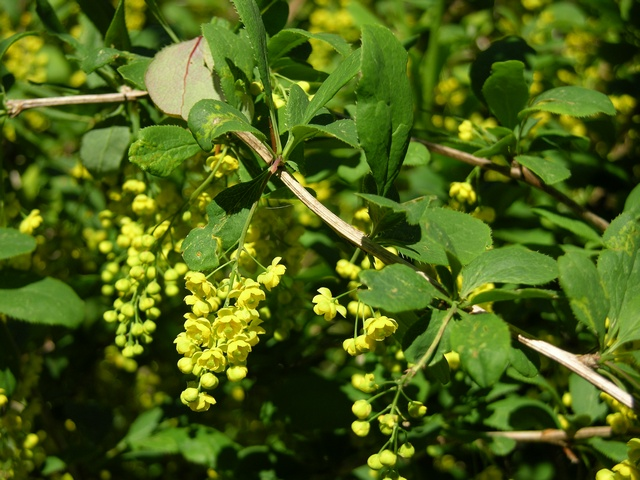 Berberis, Épine-vinette (Berberis vulgaris) photo