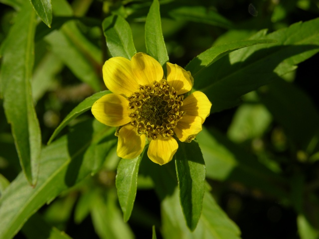 Bident couché (Bidens cernua) photo