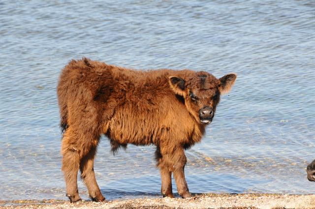 Bos taurus (Galloway) photo