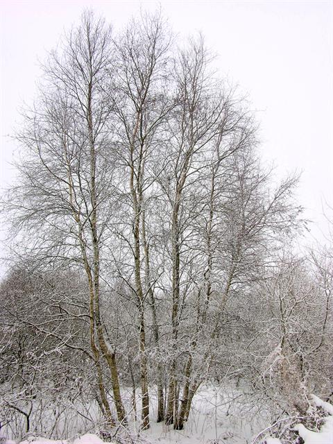 Bouleau commun, Bouleau blanc (Betula pendula) photo