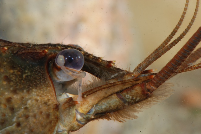 Branchiobdella parasita photo