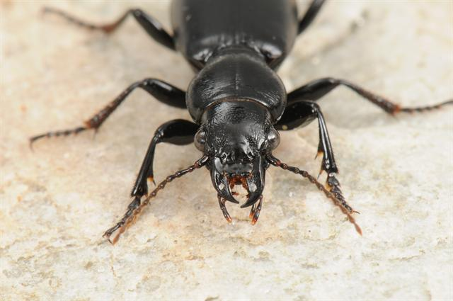 Broscus cephalotes photo