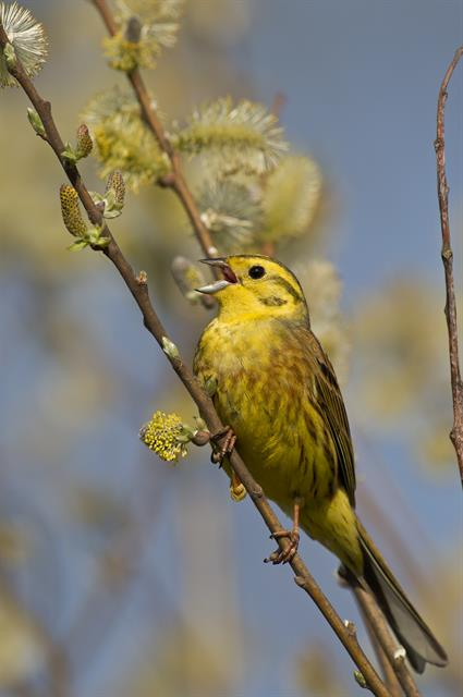 Bruant jaune (Emberiza citrinella) photo
