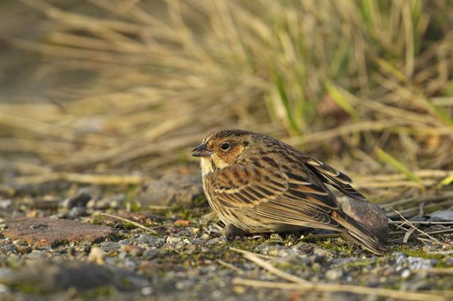 Bruant nain (Emberiza pusilla) photo