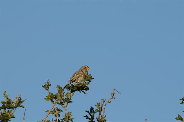 Bruant proyer (Emberiza calandra) photo