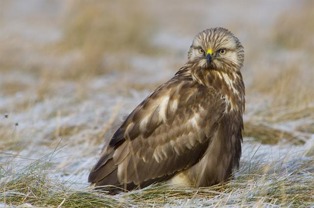 Buse pattue (Buteo lagopus) photo