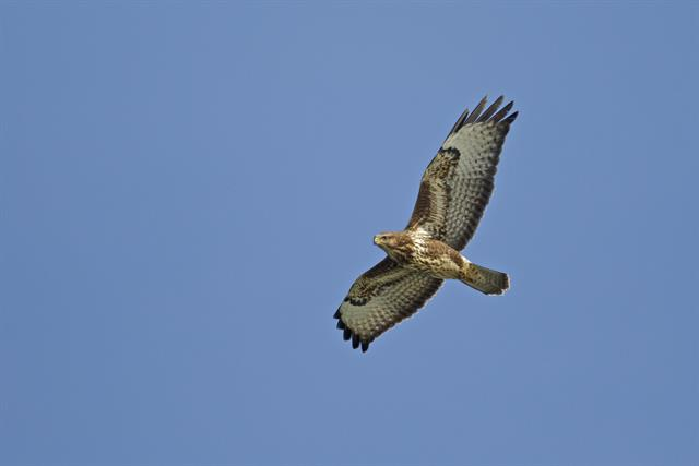 Buse variable (Buteo buteo) photo