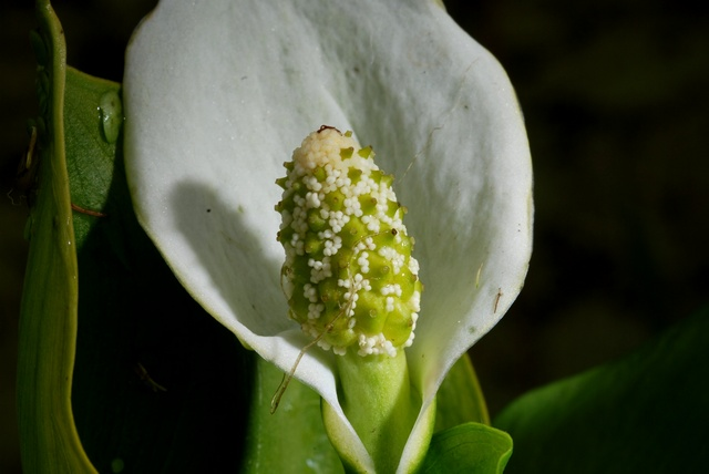Calla des marais (Calla palustris) photo