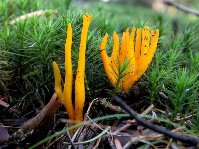 Calocère visqueuse, Mousseron de Printemps (Calocera viscosa) photo