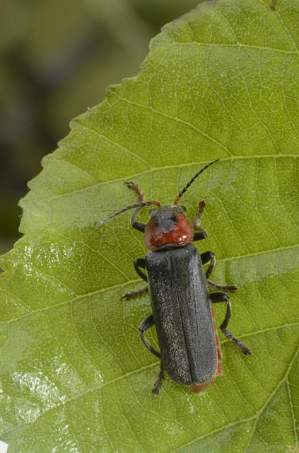 Cantharis fusca photo