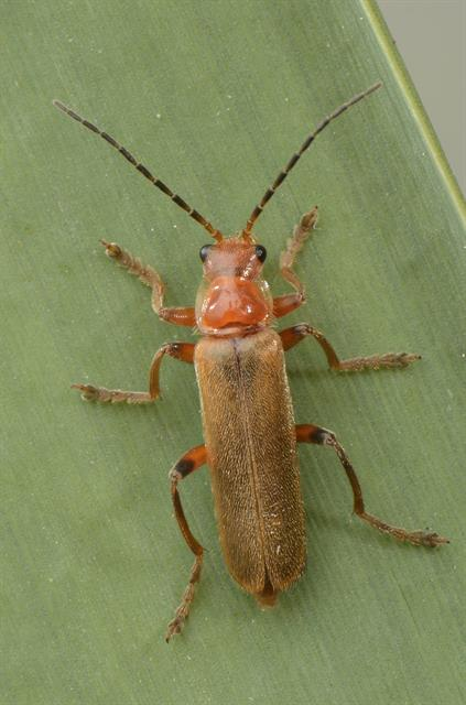 Cantharis rufa photo