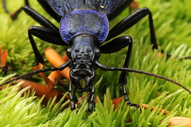 Carabus intricatus photo