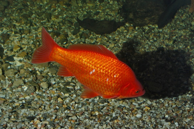 Carassin doré, Poisson rouge (Carassius auratus) photo