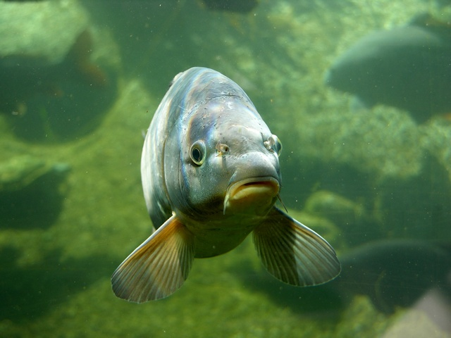 carpe commune, Carpe miroir (Cyprinus carpio) photo