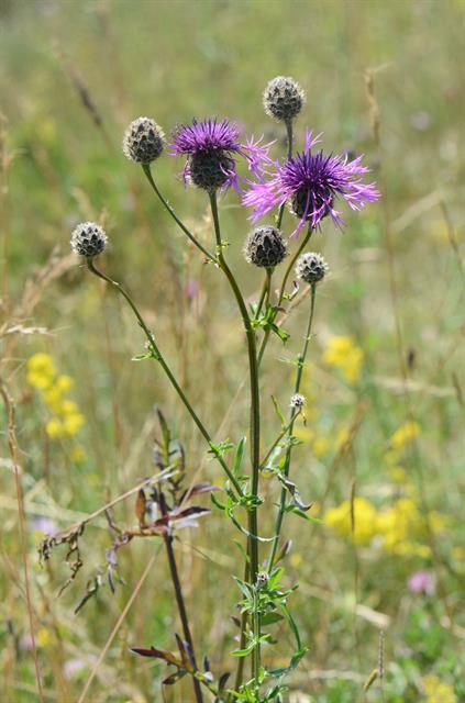 Centaurée scabieuse (Centaurea scabiosa) photo