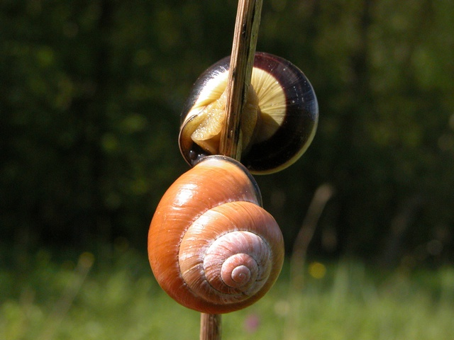Cepaea nemoralis photo