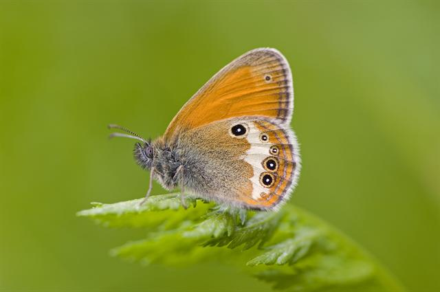 Céphale (Coenonympha arcania) photo