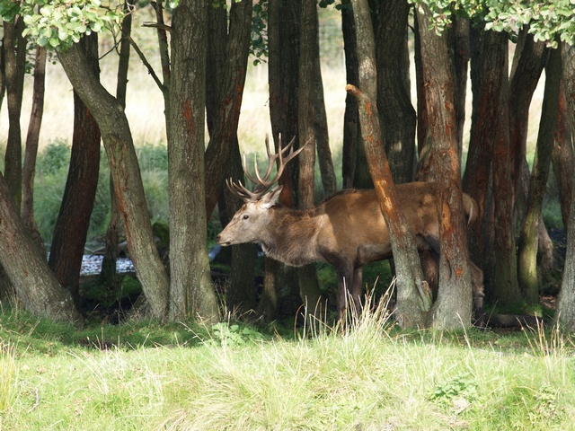 Cerf élaphe (Cervus elaphus) photo