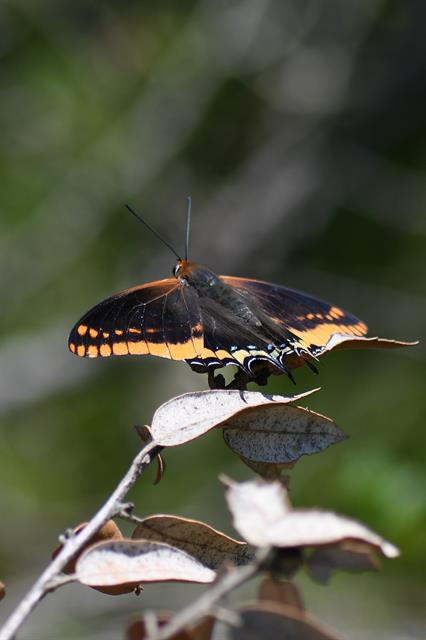 Charaxes jasius photo