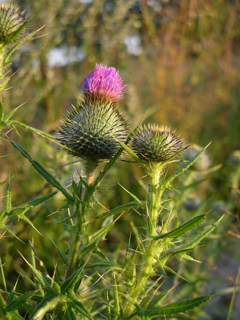 Chardon commun (Cirsium vulgare) photo
