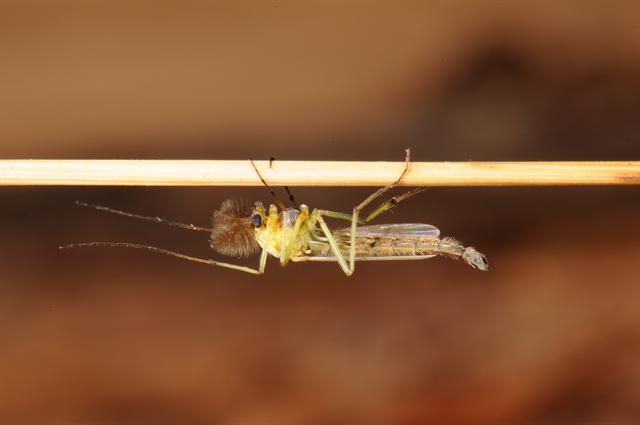 Chironomidae sp. photo