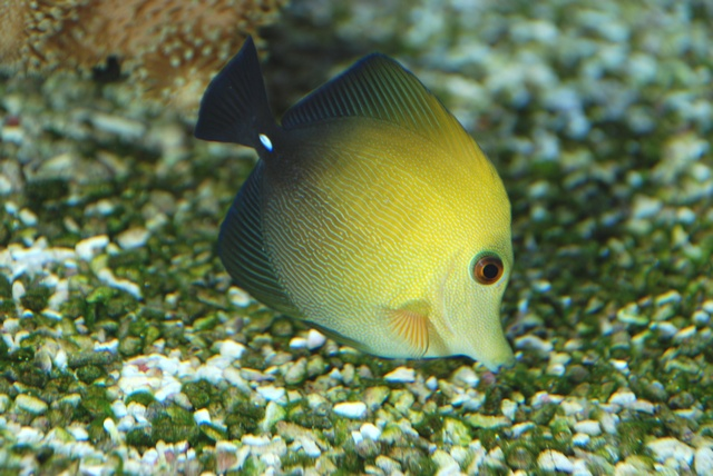 Chirurgien brun (Zebrasoma scopas) photo