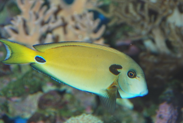 Chirurgien fer à cheval (Acanthurus tennentii) photo