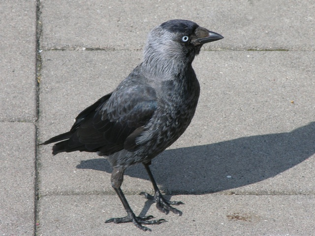 Choucas des tours (Corvus monedula) photo