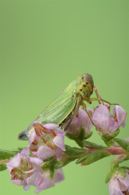 Cicadella viridis photo