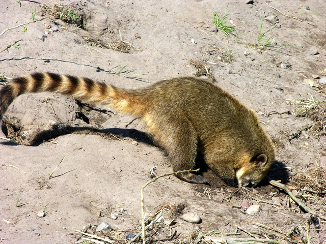 Coati commun (Nasua nasua) photo