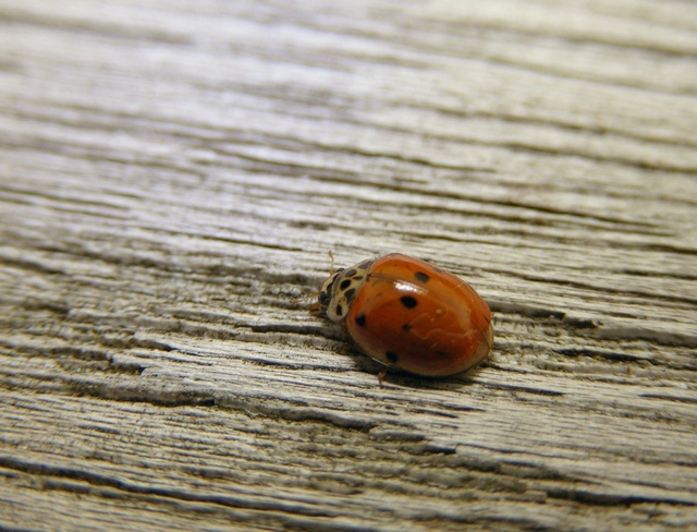 Coccinelle à 10 points (Adalia decempunctata) photo