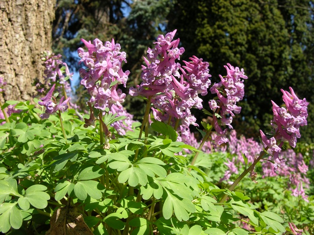 Corydal à bulbe plein (Corydalis solida) photo