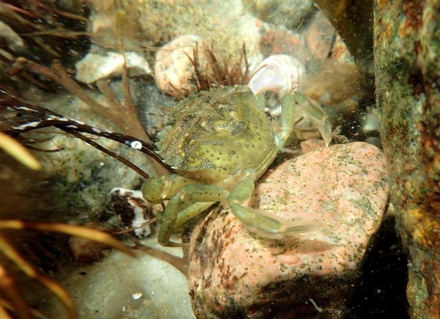 Crabe enragé (Carcinus maenas) photo