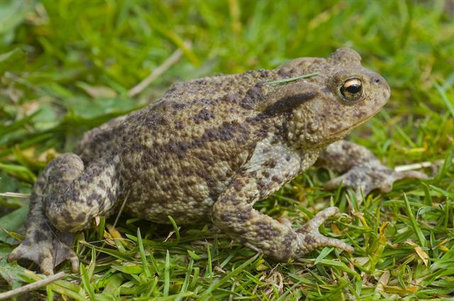 Crapaud commun (Bufo bufo) photo