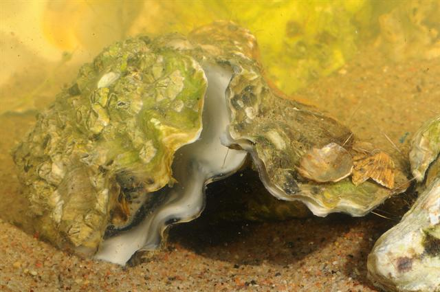 Crassostrea gigas photo