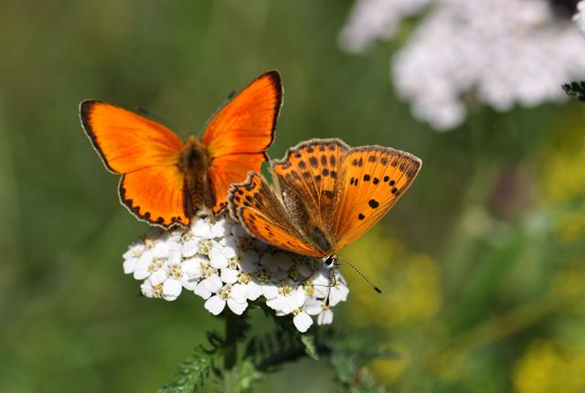 Cuivré alpin (Lycaena virgaureae) photo