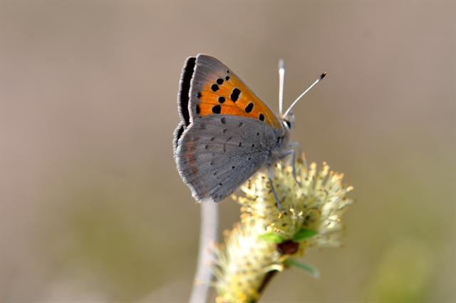 Cuivré commun (Lycaena phlaeas) photo