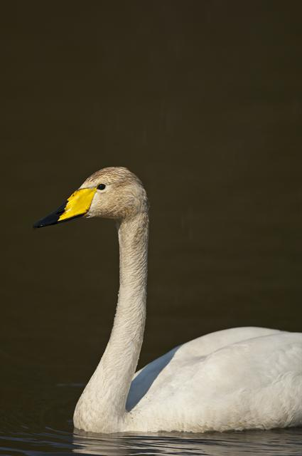 Cygne chanteur (Cygnus cygnus) photo