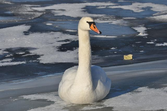 Cygne tuberculé (Cygnus olor) photo