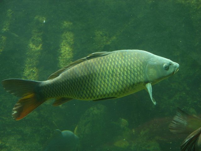 carpe commune, Carpe miroir (Cyprinus carpio)
