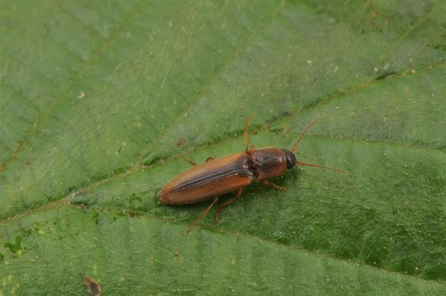 Dalopius marginatus photo