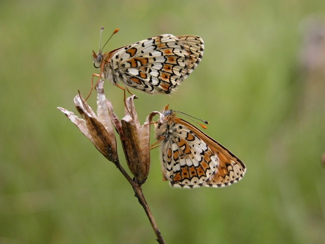 Damier du Plantain (Melitaea cinxia) photo