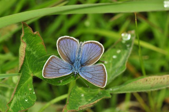 Demi-Argus (Cyaniris semiargus) photo