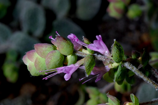Dictame de Crète (Origanum dictamnus) photo