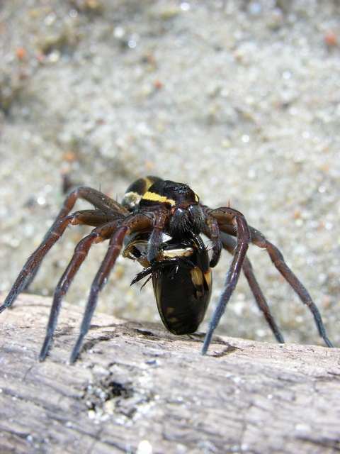Dolomedes fimbriatus photo