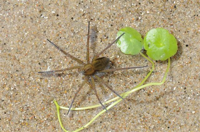 Dolomedes plantarius photo