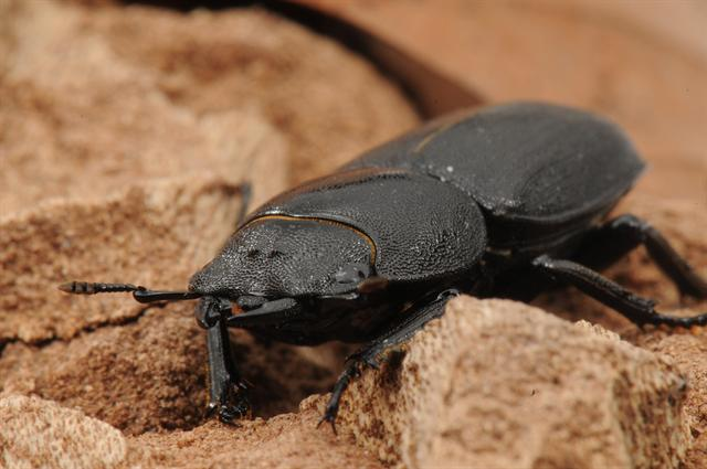 Dorcus parallelipipedus photo