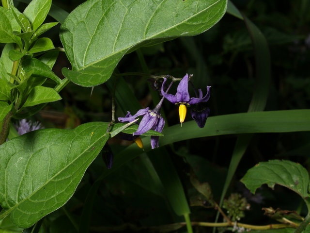 Douce amère (Solanum dulcamara) photo