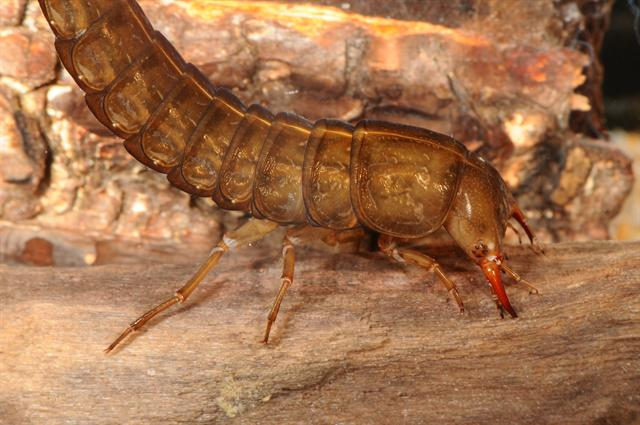 Dytiscus semisulcatus photo
