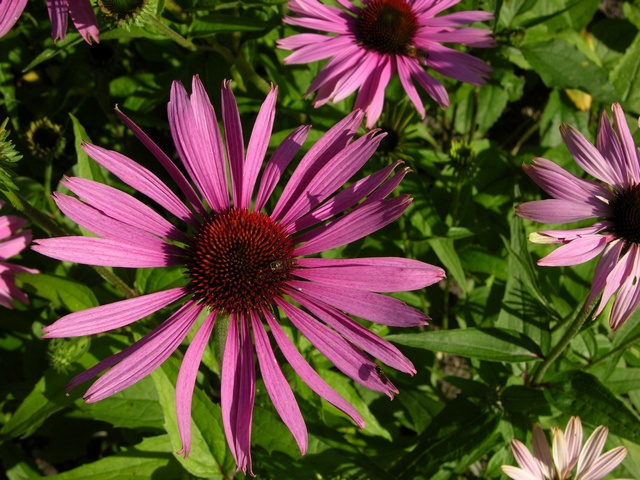 Echinacea purpurea (Magnus) photo